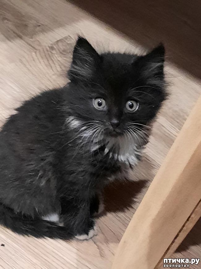 фото 1: Помогите определить породу котенка по фото.
