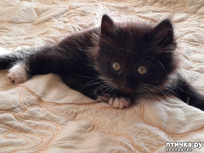 фото 2: Помогите определить породу котенка по фото.