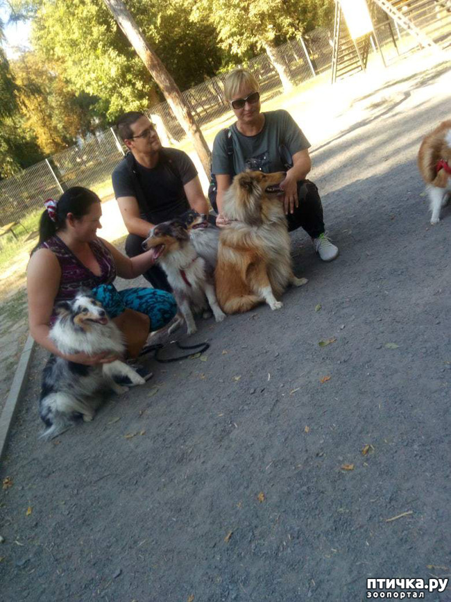 фото 6: Встреча колли и шелти