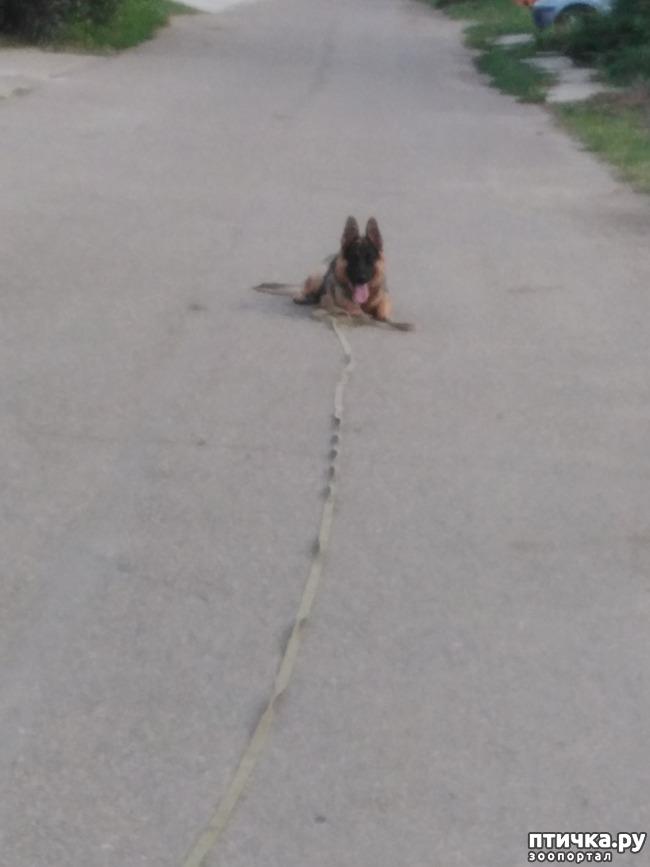 фото 2: Профессиональная дрессировка породистых собак