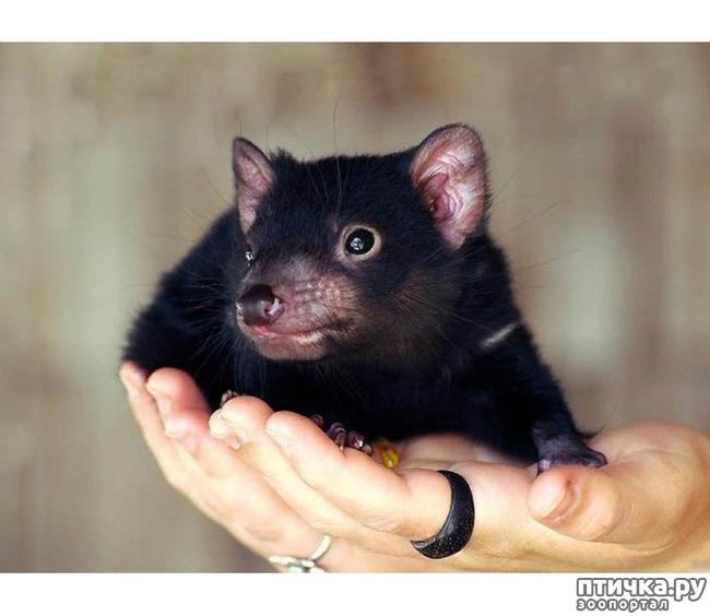 фото 6: Тасманский дьявол 2