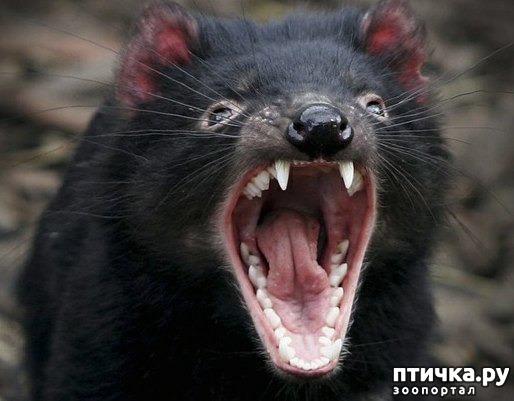 фото 11: Тасманский дьявол 2