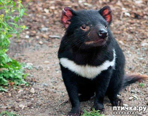 фото 10: Тасманский дьявол 2