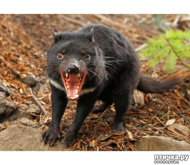фото 14: Тасманский дьявол 2