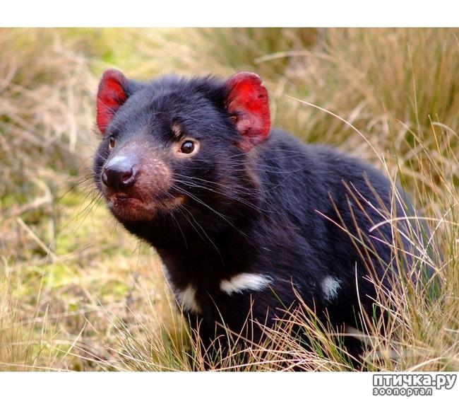 фото 13: Тасманский дьявол 2