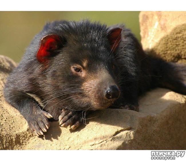 фото 12: Тасманский дьявол 2