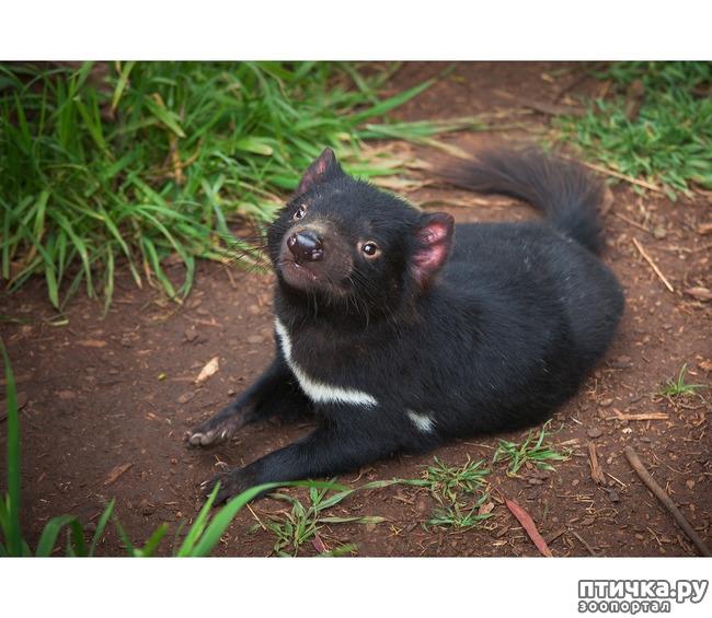 фото 9: Тасманский дьявол 2