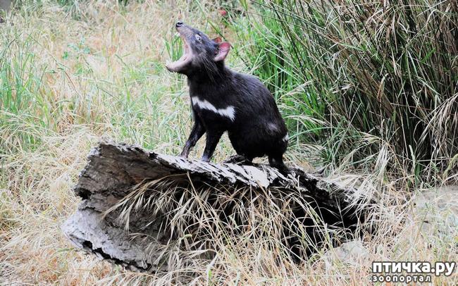 фото 15: Тасманский дьявол 2