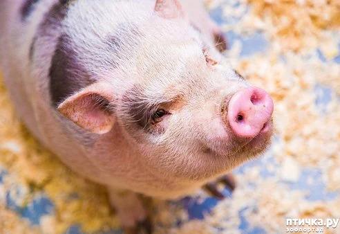 фото 1: Свинья в квартире? Возможно!