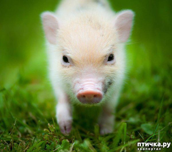 фото 2: Свинья в квартире? Возможно!