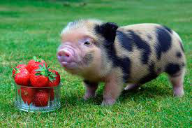 фото 3: Свинья в квартире? Возможно!