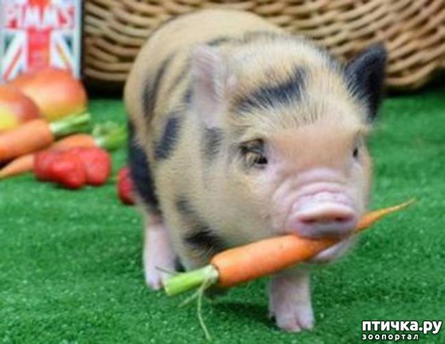фото 4: Свинья в квартире? Возможно!