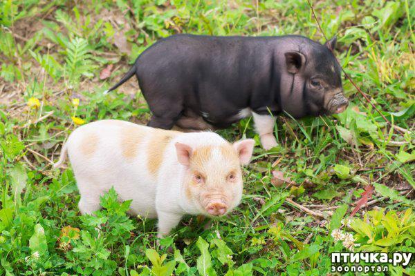 фото 5: Свинья в квартире? Возможно!