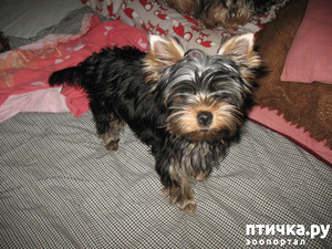 фото: Размышления маленькой собаки Фанни...