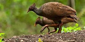 фото: Что за птица? Сорная курица.
