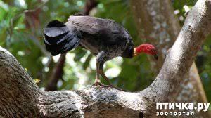 фото 6: Что за птица? Сорная курица.
