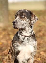 фото: Редкие породы собак: леопардовая собака Катахулы.