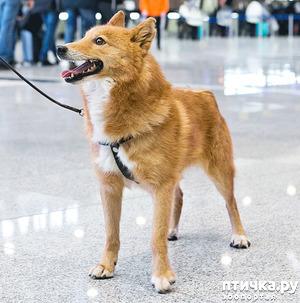 фото: Шалайка - новая порода собак России