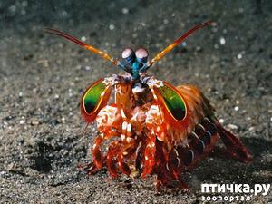 фото: Рак- богомол- маленький монстр