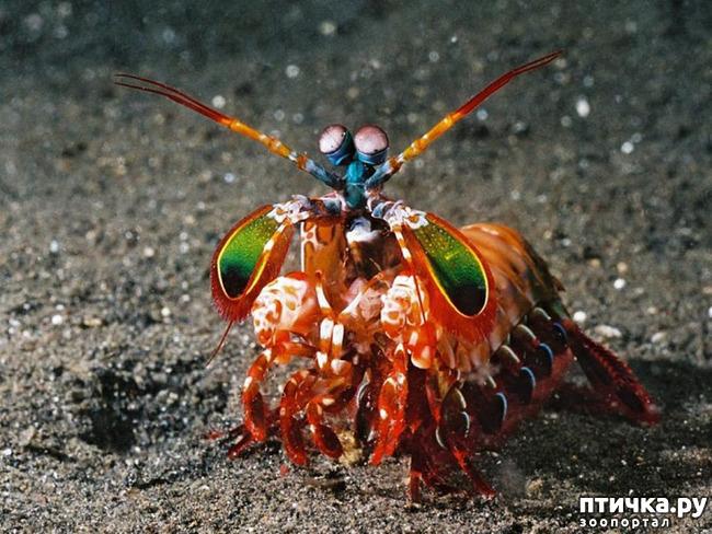 фото 1: Рак- богомол- маленький монстр