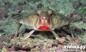 фото: Красногубая рыба, рыба которая умеет ходить.