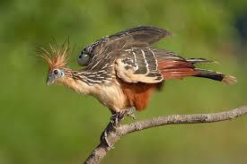 фото 2: Птица с когтями на крыльях.