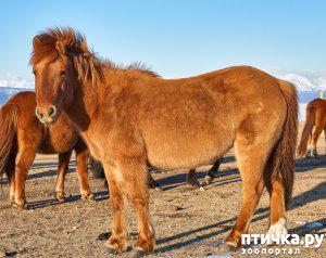 фото 1: О монгольской лошади.