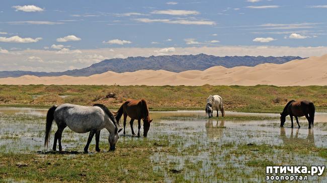 фото 2: О монгольской лошади.