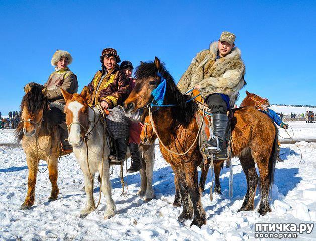 фото 5: О монгольской лошади.