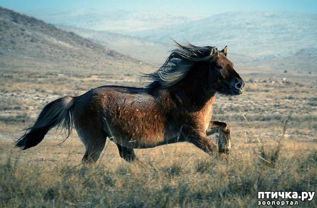 фото 3: О монгольской лошади.