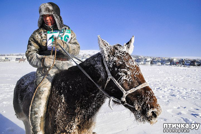 фото 4: О монгольской лошади.