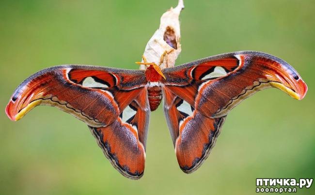 фото 2: Крылатая красота