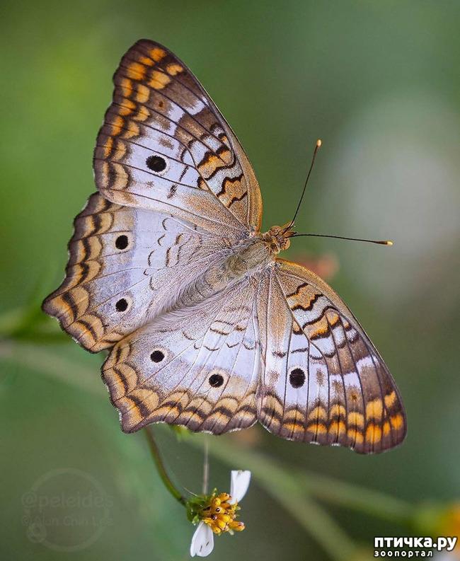 фото 31: Крылатая красота