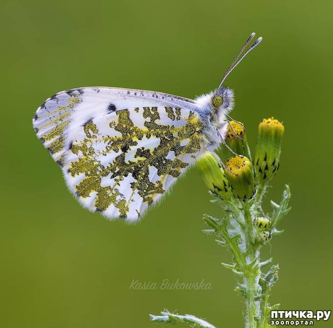 фото 32: Крылатая красота