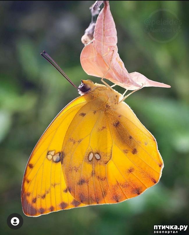 фото 35: Крылатая красота