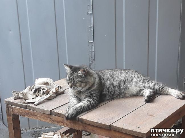 фото 9: Жароустойчивые кошки