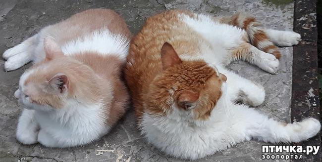 фото 10: Жароустойчивые кошки