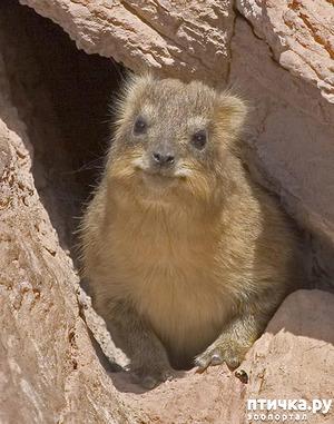 фото: Капский даман или скалистый кролик