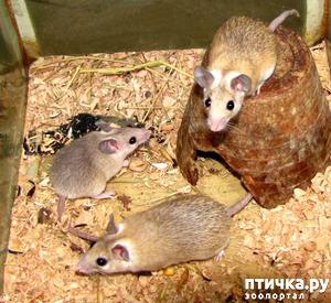 фото: Иглистая мышь, уход и содержание.