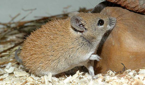 фото: Иглистая мышь или акомис.