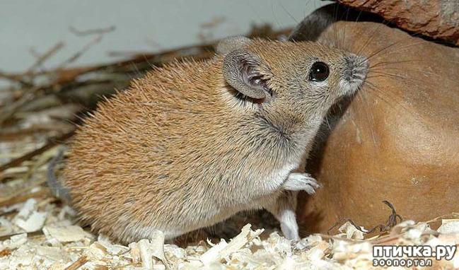 фото 1: Иглистая мышь или акомис.