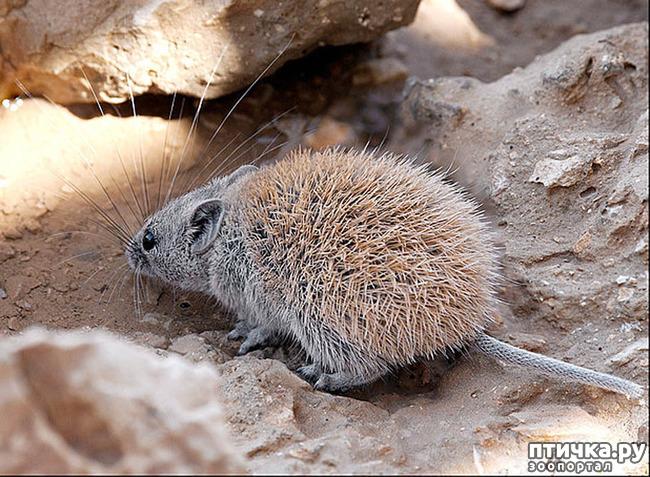 фото 2: Иглистая мышь или акомис.