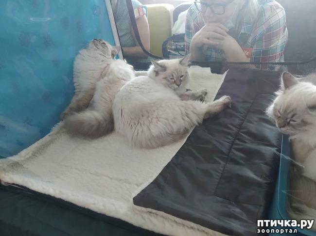 фото 10: Ещё одна кошачья выставка