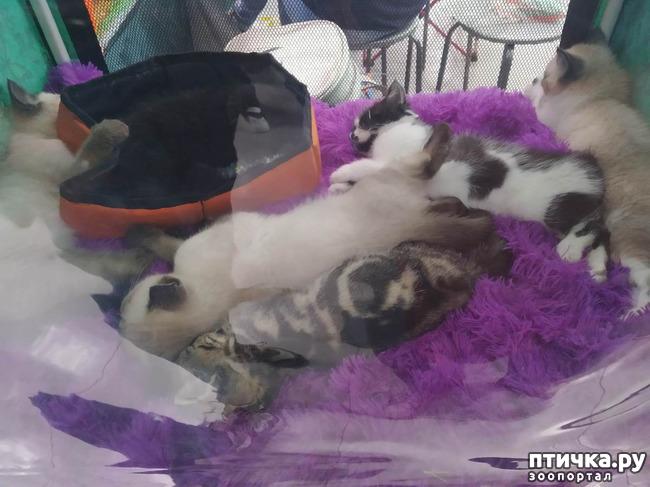фото 11: Ещё одна кошачья выставка