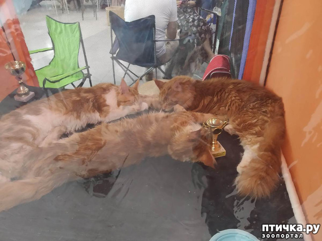 фото 4: Ещё одна кошачья выставка