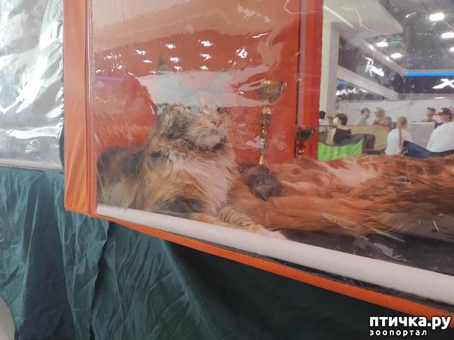 фото 5: Ещё одна кошачья выставка