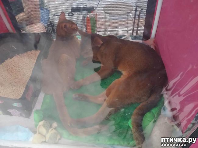 фото 7: Ещё одна кошачья выставка