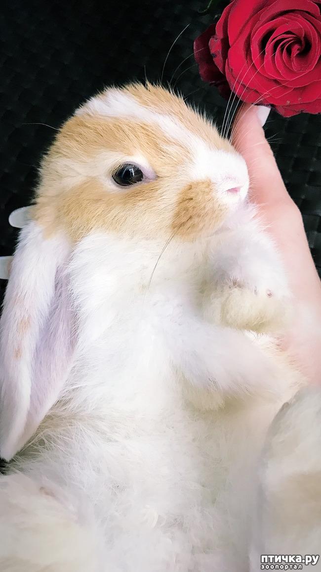 фото 2: Декоративные Крольчата от Заводчика