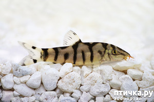 фото: Боция мраморная – рыбка «Yo-Yo» или как у меня появились новые жители аквариума.