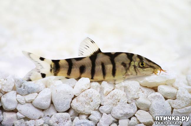 фото 1: Боция мраморная – рыбка «Yo-Yo» или как у меня появились новые жители аквариума.